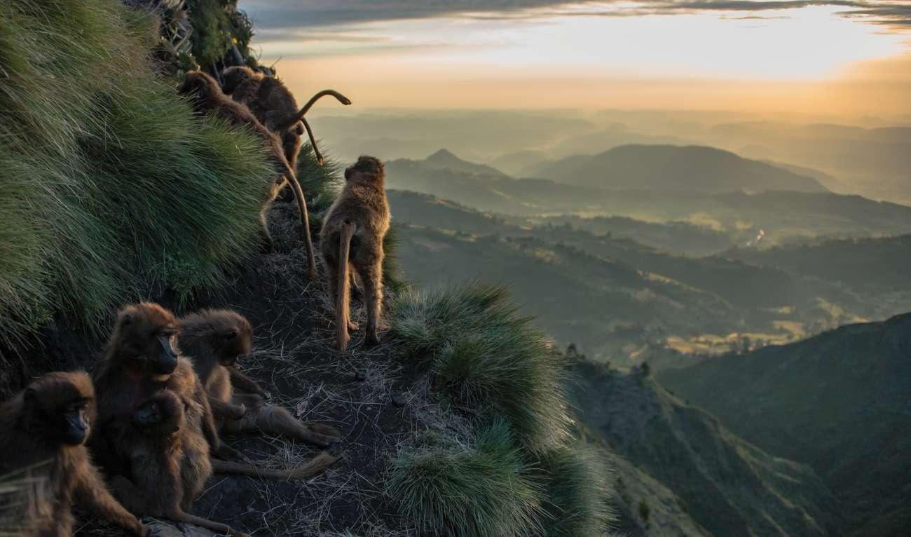Ethiopian Highlands Gelada Monkeys