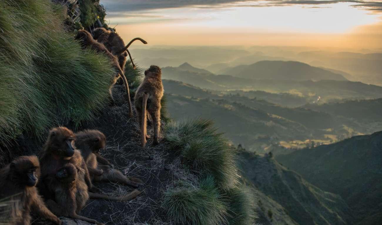Ethiopian Highlands Gelada Monkeys